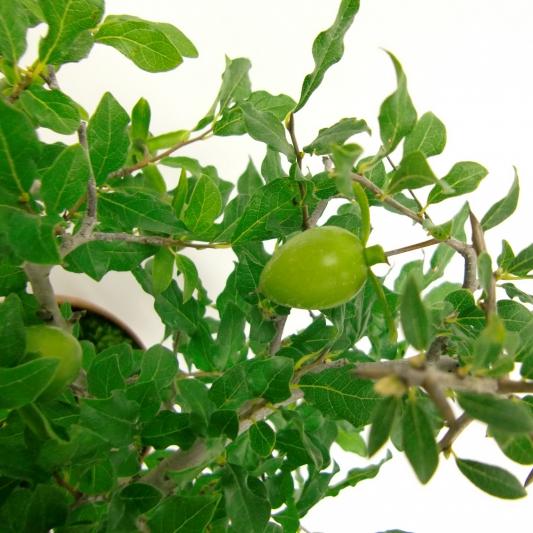 ロウヤ柿  13-AU-3