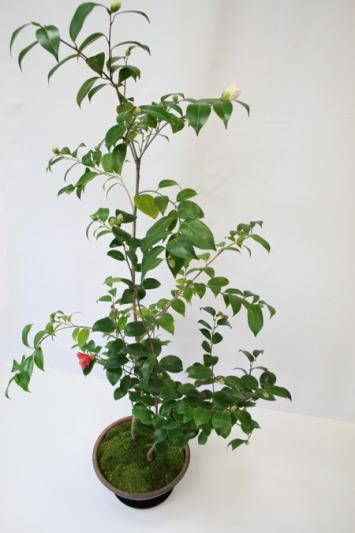 椿の鉢 12-WI-4