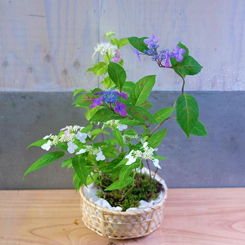 山紫陽花 21-SP-9