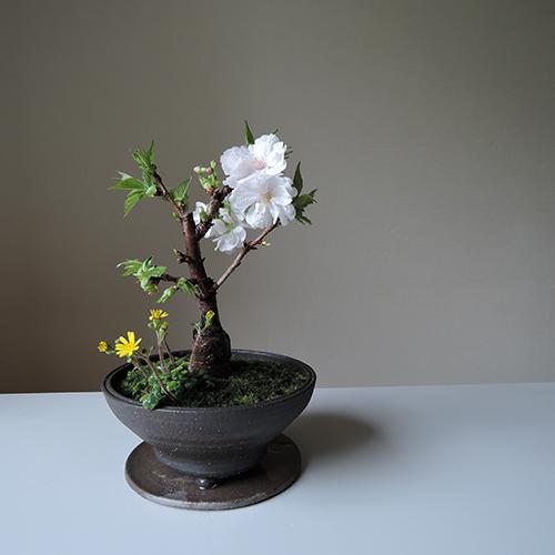 桜寄せ植え 21-SP-1