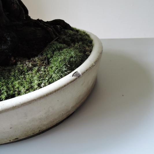 サンザシ盆栽仕立て